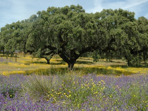 holm oak in the alentejo cycle route